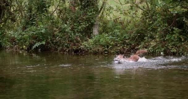 Liška obecná, vulpes vulpes, dospělý překročení řeky, Normandie ve Francii, zpomalené 4k
