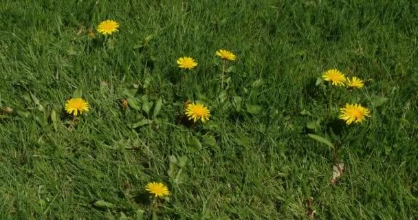 Virágok, a közös pitypang, gyermekláncfű, Normandia, valós idejű 4k