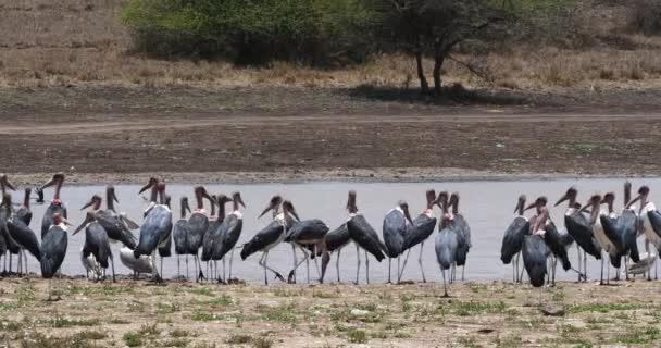 Čápi Marabu, leptoptilos crumeniferus, skupina blízko vody, Park Nairobi v Keni, reálném čase 4k