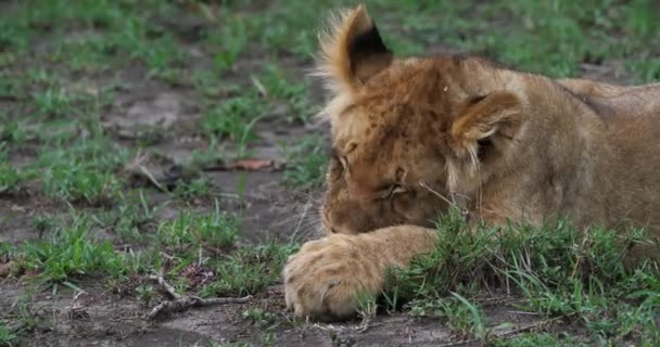African Lions, panthera leo, Cub licking its Paws, Masai Mara Park in Kenya, Real Time 4K