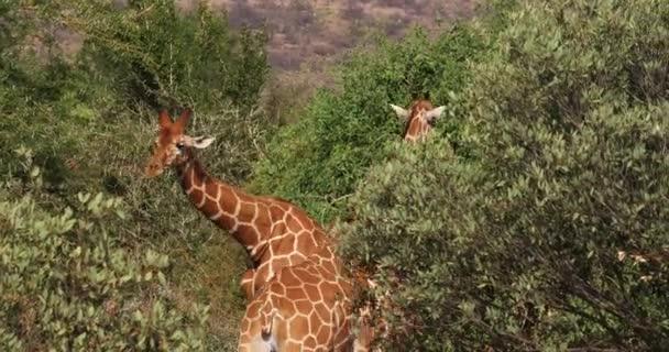 Hálós zsiráf, giraffa camelopardalis reticulata, pár Samburu park Kenyában, valós idejű 4k