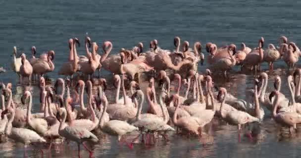 Lesser Flamingoes, phoenicopterus minor, Colony at Bogoria Lake in Kenya, Real Time 4K