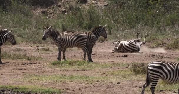 Burchells Zebra, equus burchelli, Adult entering Water, Masai Mara Park in Kenya, Real Time