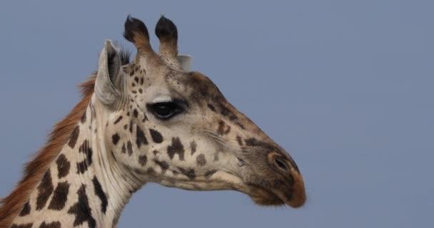 Masai Giraffe, giraffa camelopardalis tippelskirchi, Portrait of Adult, Masai Mara Park in Kenya, real Time 4K