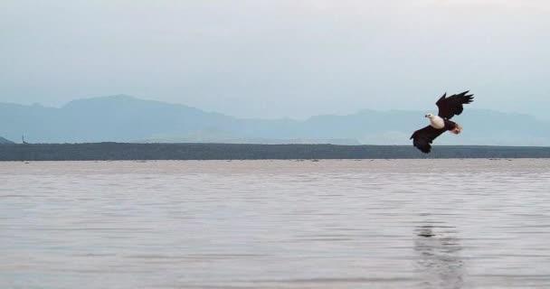 Afrikai rétisas, haliaeetus vocifer, felnőtt, repülés, karmok, halászat tó Baringó, Kenya, lassított 4k a hal