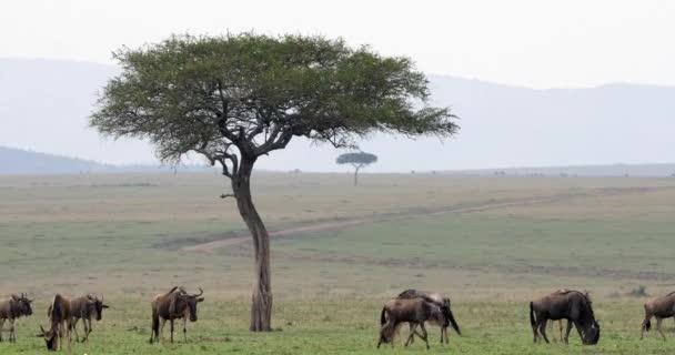 PAKŮŇ žíhaný, connochaetes taurinus, stádo během migrace, park Masai Mara v Keni, reálném čase 4k