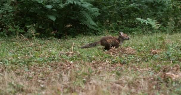 Liška obecná, vulpes vulpes, Dospělí běží na trávě, Normandie ve Francii, zpomalené 4k
