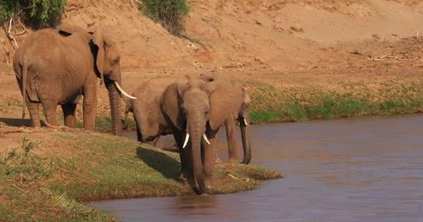 Loxodonta africana, afrikai elefánt, egy folyó, Samburu Park Kenyában, valós idejű 4k csoport