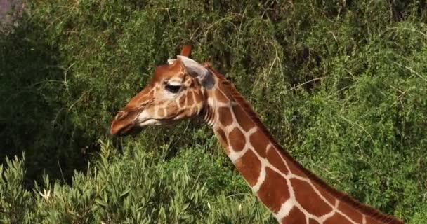 Recés zsiráf, giraffa camelopardalis reticulata, Samburu park Kenyában, valós idejű 4k
