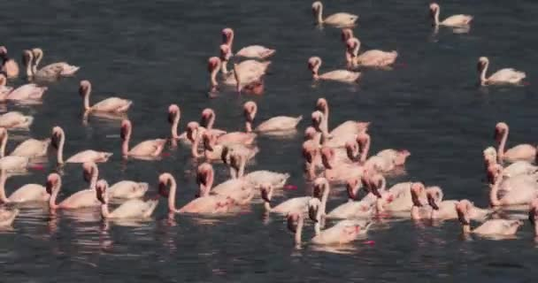 Lesser Flamingoes, phoenicopterus minor, Colony at Bogoria Lake in Kenya, Real Time 4K