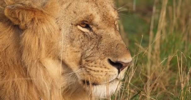 African Lion, Male walking through Savanna