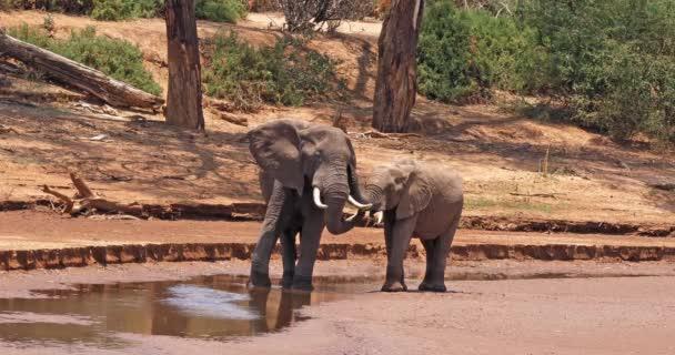 Afričtí sloni, loxodonta africana, matka a lýtka, Park Samburu v Keni, reálném čase 4k