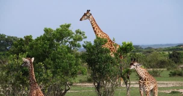 Masai Giraffes, giraffa camelopardalis tippelskirchi, Group standing in Savanna, Masai Mara Park in Kenya, real Time 4K