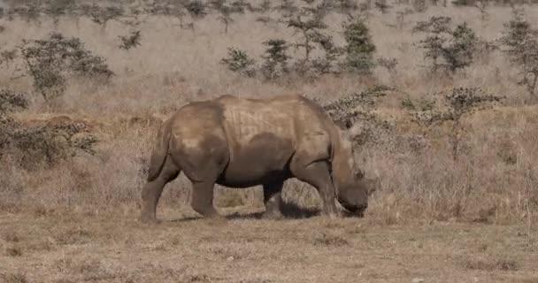 Bílý nosorožec, ceratotherium simum, dospělý pěší, Park Nairobi v Keni, reálném čase 4k