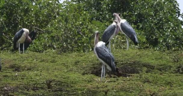 Čápi Marabu, leptoptilos crumeniferus, Park Nairobi v Keni, reálném čase 4k