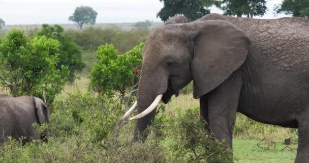 Afričtí sloni, loxodonta africana, Park Masai Mara v Keni, reálném čase 4k