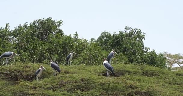 Čápi Marabu, leptoptilos crumeniferus, skupina sedí na stromě, Park Nairobi v Keni, reálném čase 4k