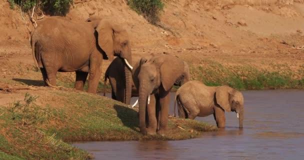 Afrikai elefánt, loxodonta africana, csoport-folyó mentén, a Samburu Park Kenyában, valós idejű 4k
