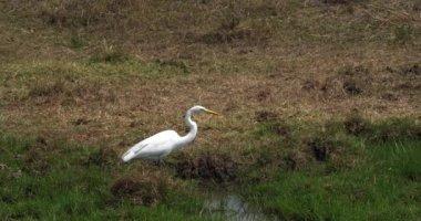 Great White Egret, egretta alba, Adult Standing in Swamp, Nairobi Park in Kenya, Real Time 4K
