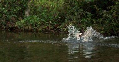 European Badger, meles meles, Adult running through Water, Normandy, Slow motion 4K