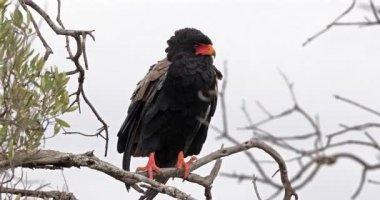 Bateleur Eagle, terathopius ecaudatus, Adult perched on the top of Tree, Masai Mara Park in Kenya, Real Time 4K