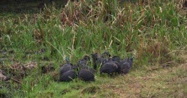Helmeted Guineafowl, numida meleagris, Masai Mara Park in Kenya, Real Time 4K