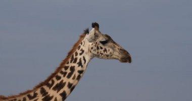 Maszáj zsiráf, giraffa camelopardalis tippelskirchi, portré, felnőtt, Masai Mara Park Kenyában, valós idejű 4k