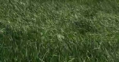 Long Grass in the Wind, Normandy in France, Real Time 4K