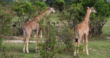 Maszáj zsiráf, giraffa camelopardalis tippelskirchi, csoport, állandó Savanna, Masai Mara Park Kenyában, valós idejű 4k