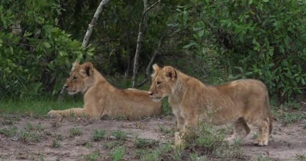 Afrikai oroszlánok, panthera leo, kölykök, Masai Mara Park Kenyában, valós idejű 4k