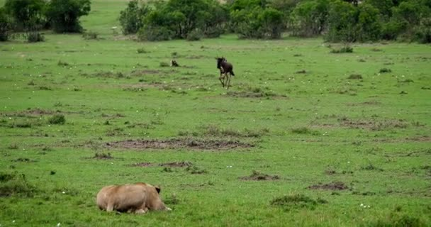 African Lion, panthera leo, donna caccia Wildebest, parco Masai Mara in Kenya, tempo reale 4K