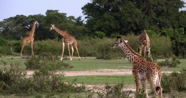 Masai žirafy, giraffa camelopardalis tippelskirchi, skupina stojící v savany, Park Masai Mara v Keni, reálném čase 4k