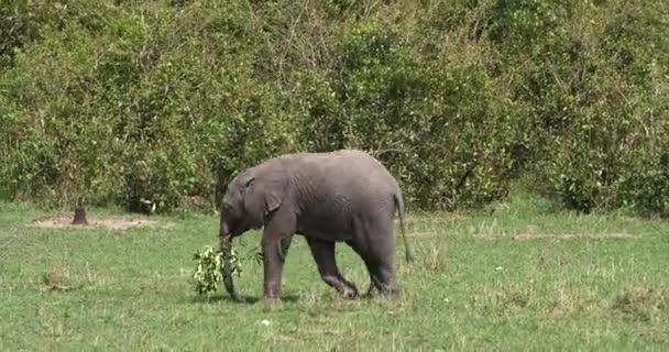 Afrikai elefánt, a loxodonta africana, borjú, játszik egy ág, Masai Mara Park Kenyában, valós idejű 4k
