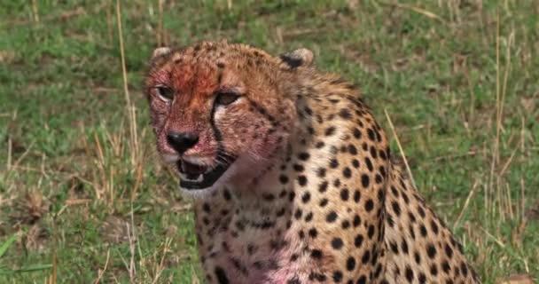 Gepard, acinonyx jubatus, dospělý s krvavou tvář, s parkem Kill, Wildebest, Masai Mara v Keni, reálném čase 4k