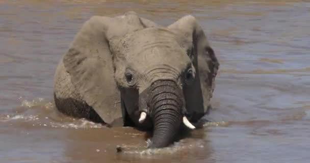 African Elephant, loxodonta africana, Calf drinking water at river, Masai Mara Park in Kenya, Real Time 4K