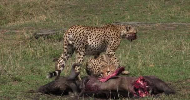 Gepard, acinonyx jubatus, Dospělí jí parku Kill, Wildebest, Masai Mara v Keni, reálném čase 4k