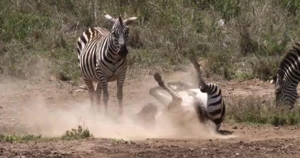 Pettyes Zebra, equus burchelli, Felnőtt belépő víz, Masai Mara Park Kenyában, valós időben