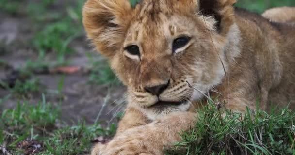Africký lev, panthera leo, mládě olizuje jeho tlapy, Park Masai Mara v Keni, reálném čase 4k