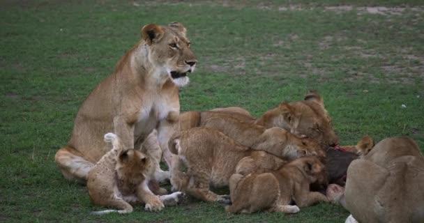 Afrikai oroszlánok, panthera leo, csoportosítsa a Kill, a Wildebest, Masai Mara Park Kenyában, valós idejű 4k