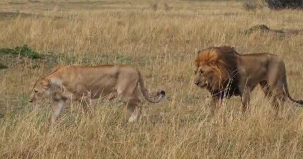 Afrikai oroszlán, férfi séta szavanna