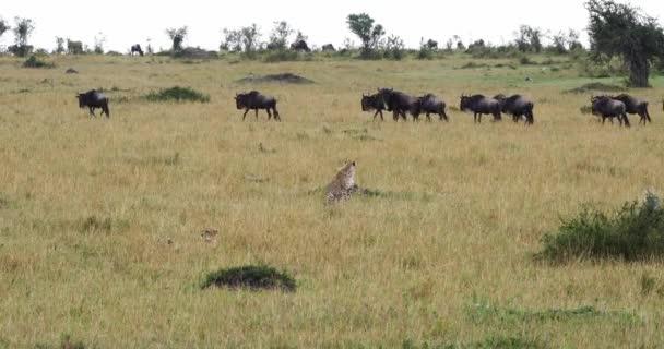 Gepard, acinonyx jubatus, dospělý, lov Wildebest, Park Masai Mara v Keni, reálném čase 4k