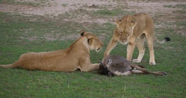 Lvů, panthera leo, samice s parkem Kill, Wildebest, Masai Mara v Keni, reálném čase 4k