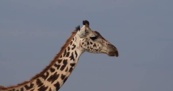 Masai žirafa, giraffa camelopardalis tippelskirchi, portrét dospělých, Park Masai Mara v Keni, reálném čase 4k