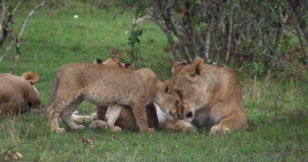 African Lion, Male walking through Savanna