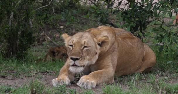 Africký lev, muž procházel savany