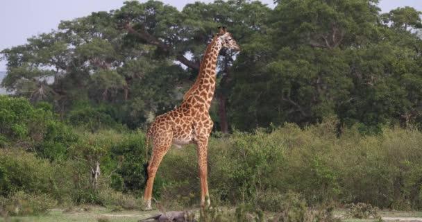 Masai žirafa, giraffa souhvězdí žirafy tippelskirchi, dospělý stojící v savany, Park Masai Mara v Keni, reálném čase 4k