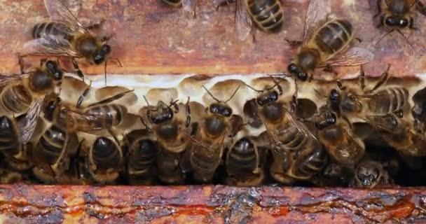 Európai mézelő méh, apis mellifera, méhtér, méhkaptár Normandiában, valós idejű 4k