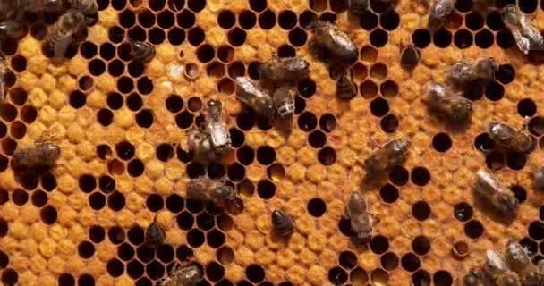 Európai mézelő méhek, apis mellifera, méhkaptár Normandiában, valós idejű 4k