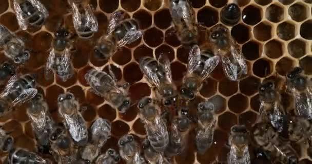 Európai mézelő méhek, apis mellifera, méhek az Alveoluson, méhkaptár Normandiában, valós idejű 4k