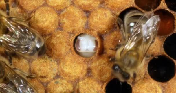 European Honey Bee, apis mellifera, nymph who is not capapped / vidíme jeho oči a jeho vlny, včelí úl v Normandii, Real Time 4k